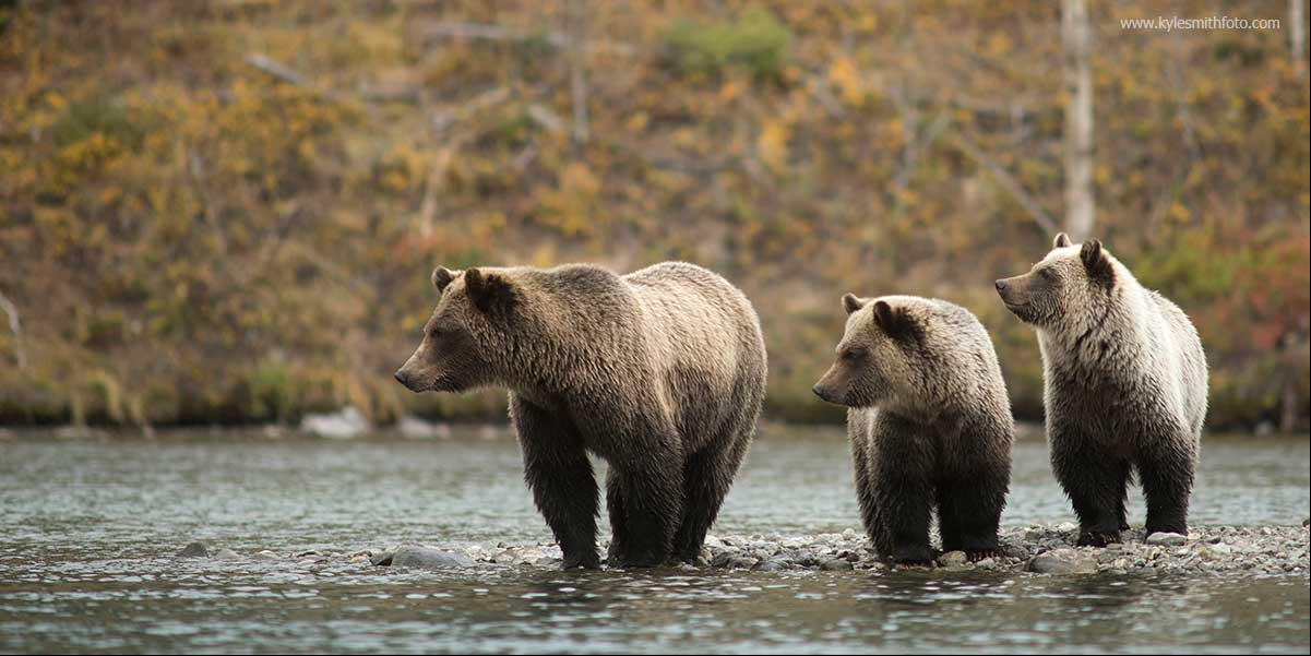 A sow and her two cubs are watching as another family of bears approaches.  by Kyle Smith ©