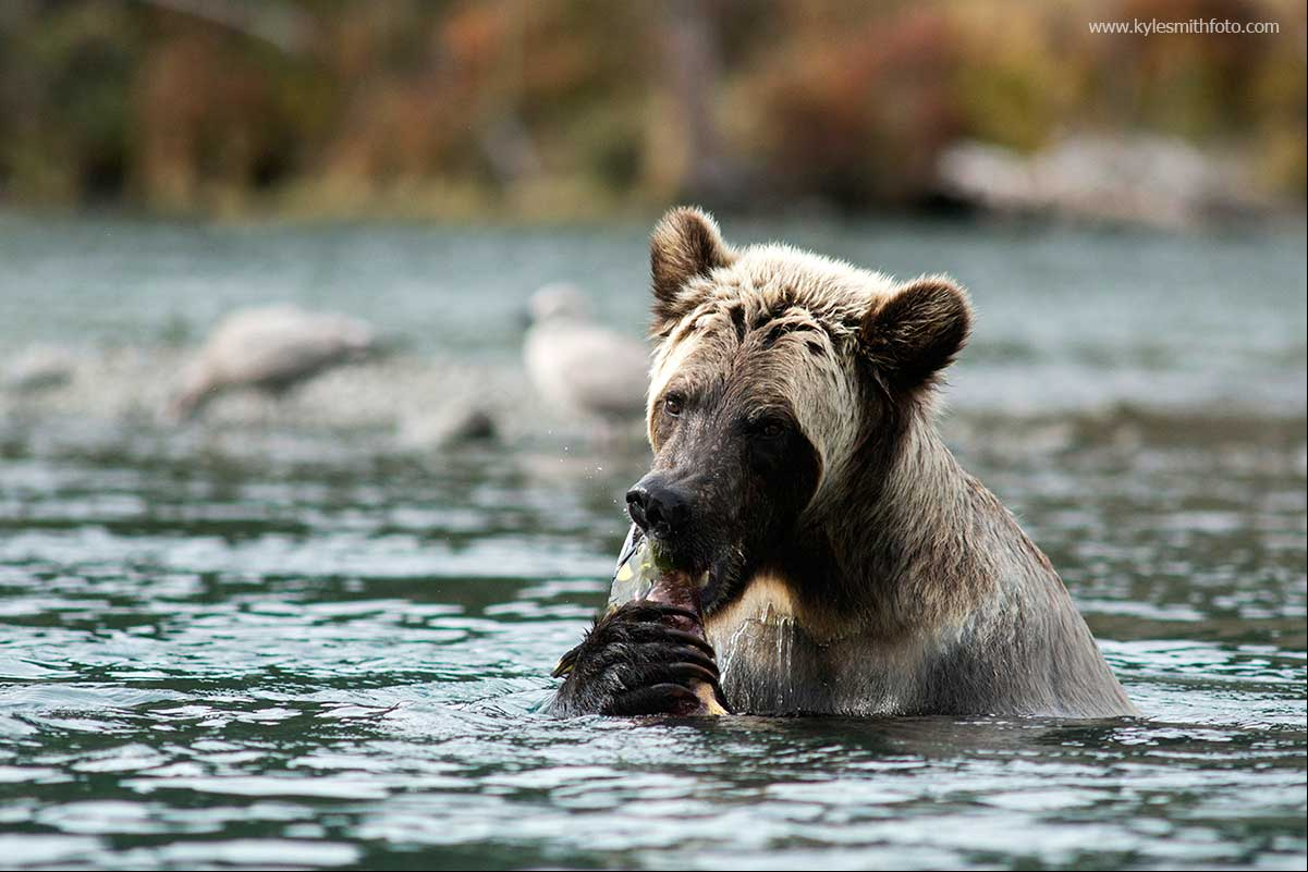 "A second year cub successfully ""hot tubbing"" for salmon by Kyle Smith ©"