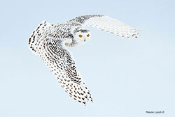 Snowy owl in flight by Dr. Wayne Lynch ©