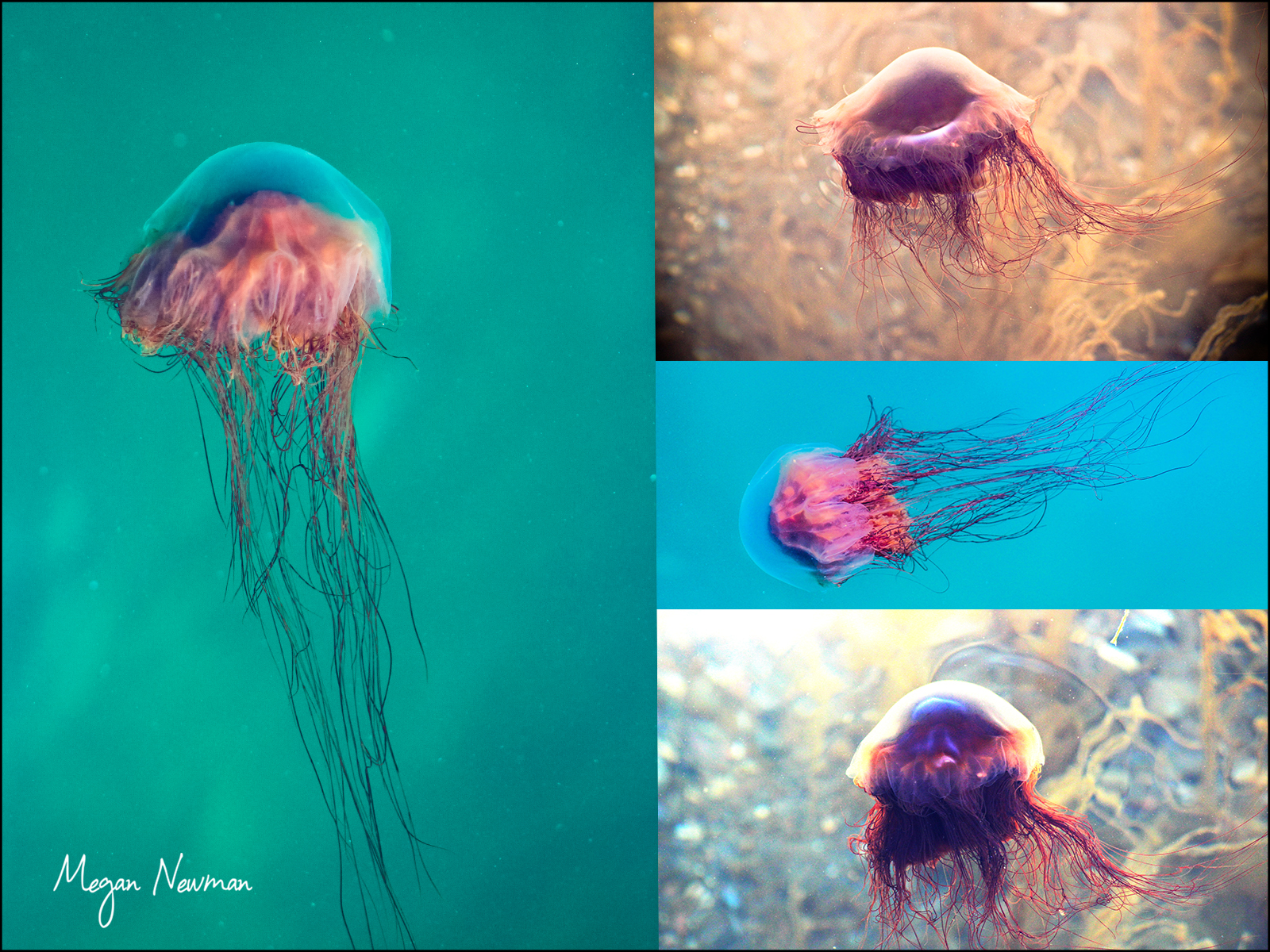 Jelly fish Newfoundland Megan Newmann ©
