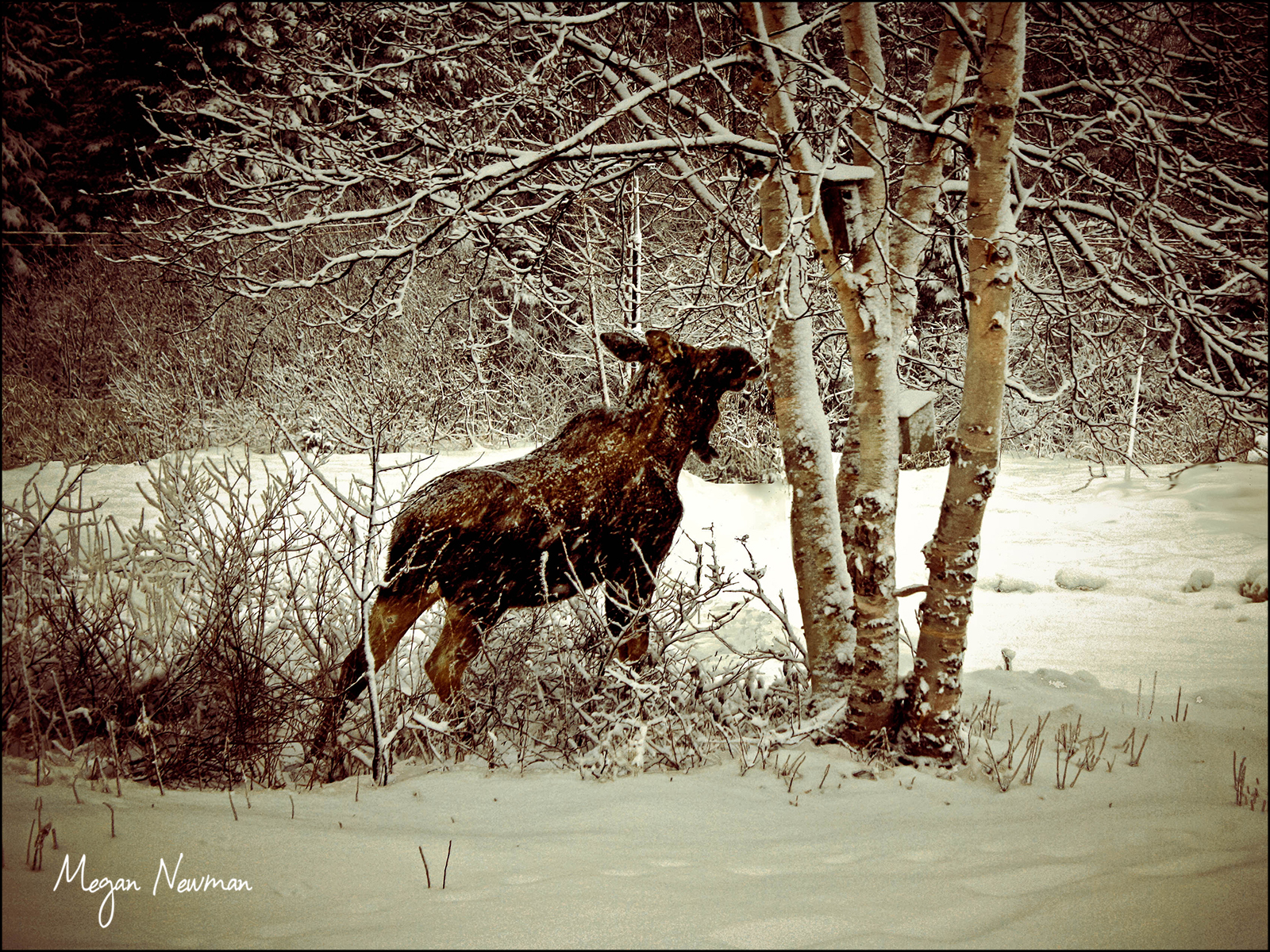 Moose in winter Newfoundland Megan Newmann ©