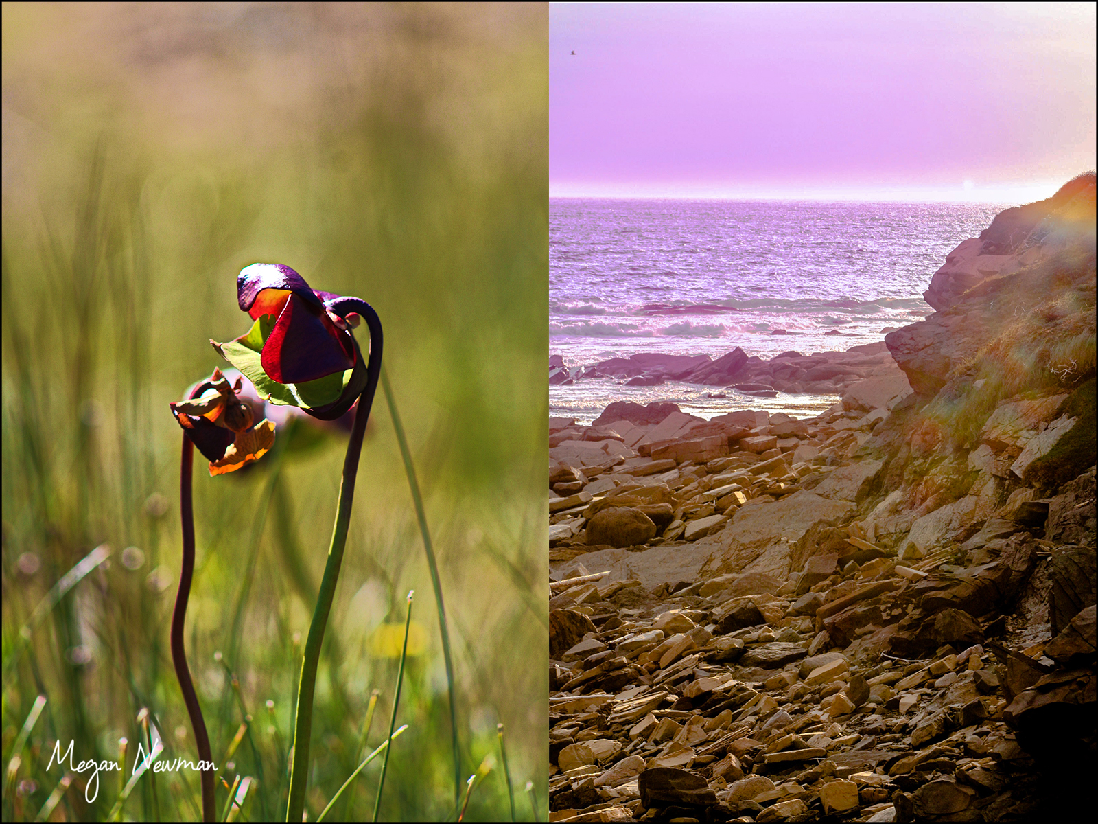 Pitcher plant and coastline Newfoundland Megan Newmann ©