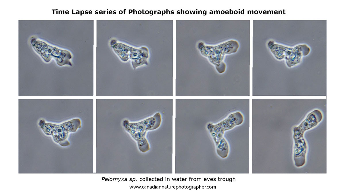 Time-lapse series of photos showing amoeboid movement by Robert Berdan ©