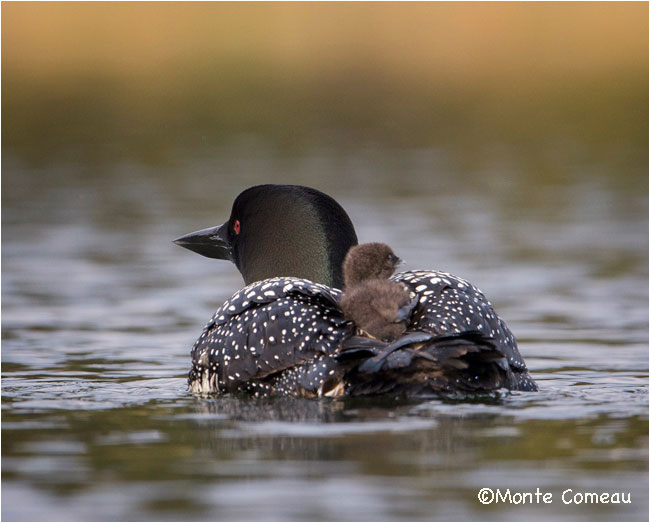 Common Loon by Monte Comeau