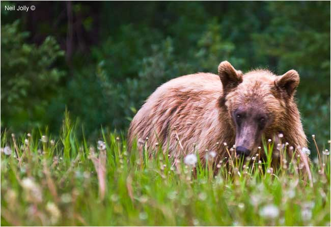Grizzly bear in the Highwood Pass area feeding on dandelions by Neil Jolly ©