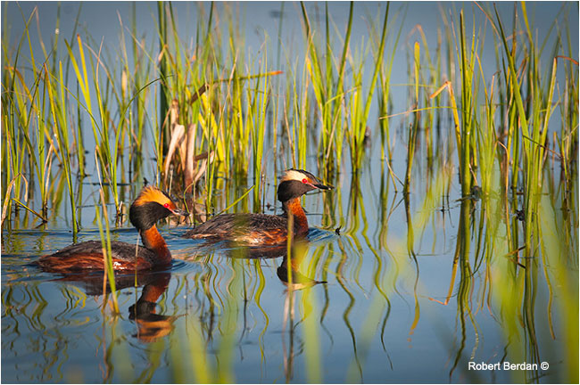 Male and fema;e Horned Grebe (Podiceps auritus) by Robert Berdan ©