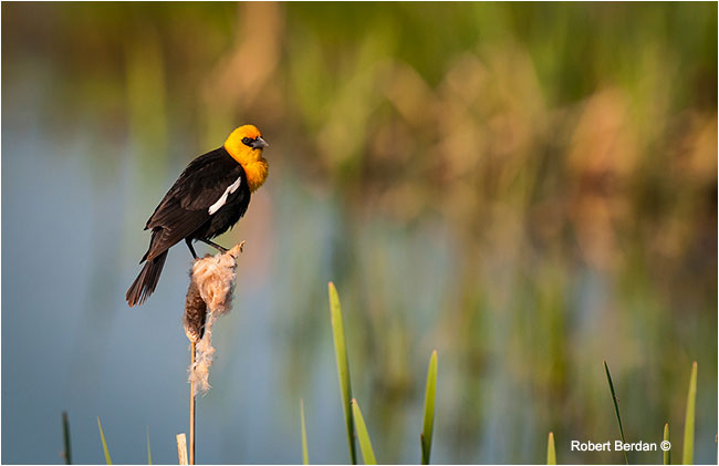 Male Yellow-headed black bird (Xamthocephalus xanthocephalus) by Robert Berdan ©