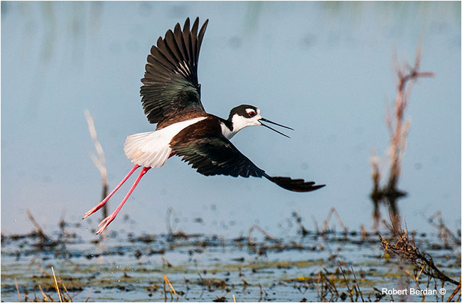 Black-necked Stilt (Himantopus mexicanus) by Robert Berdan ©
