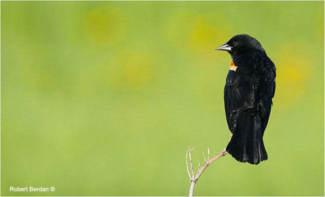 Male Red-winged blackbird (Agelaius phoeniceus) by Robert Berdan ©