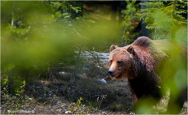 Grizzly bear by Robert Berdan ©