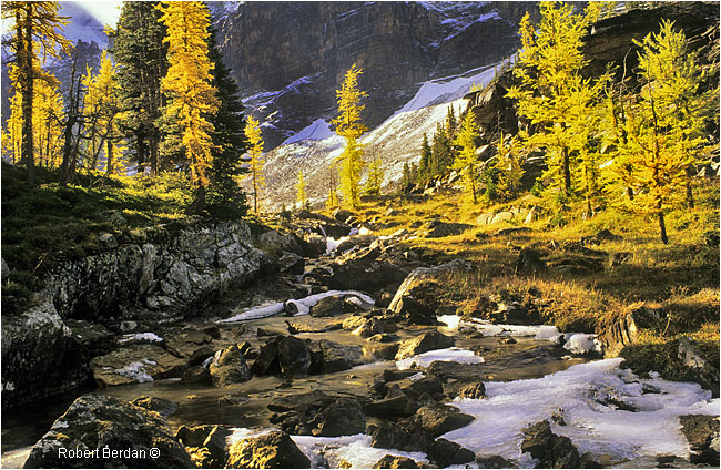 Larches on the Opapin Plateau in September by Robert Berdan ©