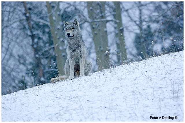 Wolf by Peter A Dettling ©