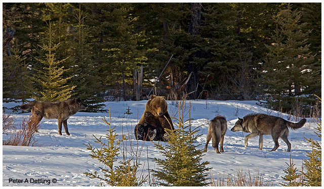 Wolf and Grizzly bear by Peter A Dettling ©
