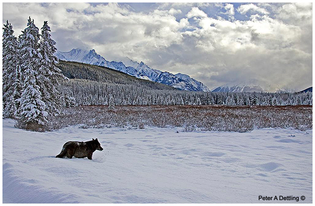 Wolf crossing Bow Valley Parkway in Banff National Park by Peter Dettling ©