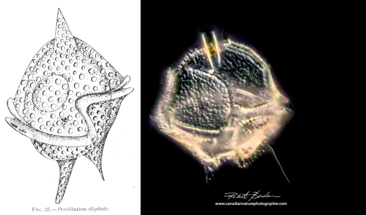 Peridinium sp of Dinoflagellate Darkfield by Robert Berdan ©