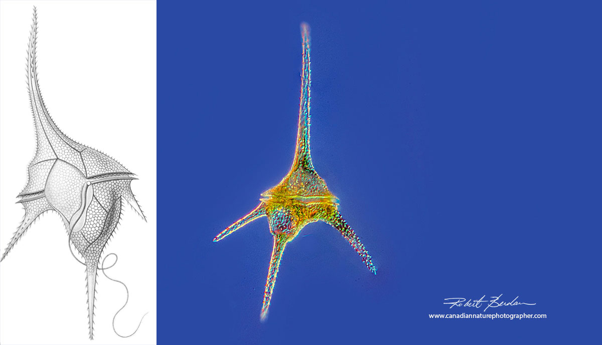 Ceratium hirundinella a common dinoflagellate in ponds and lakes in Alberta by Robert Berdan ©