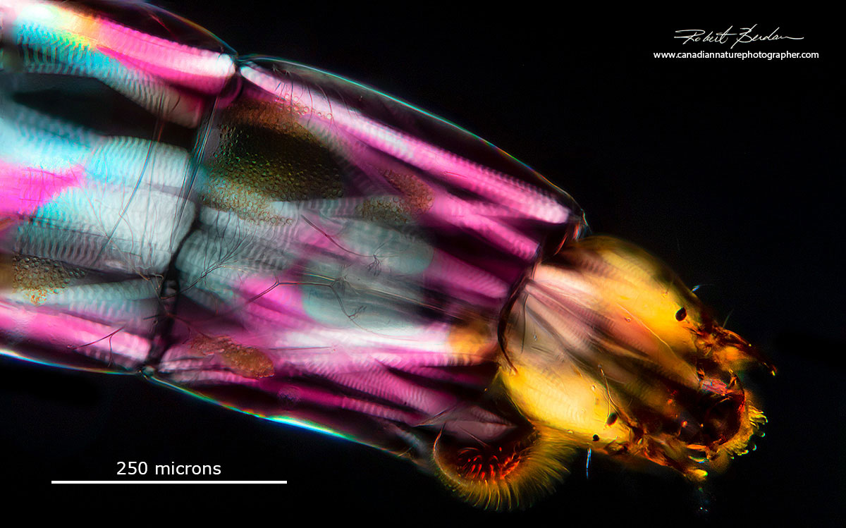 Chironomid larvae by Polarized light microscopy by Robert Berdan ©