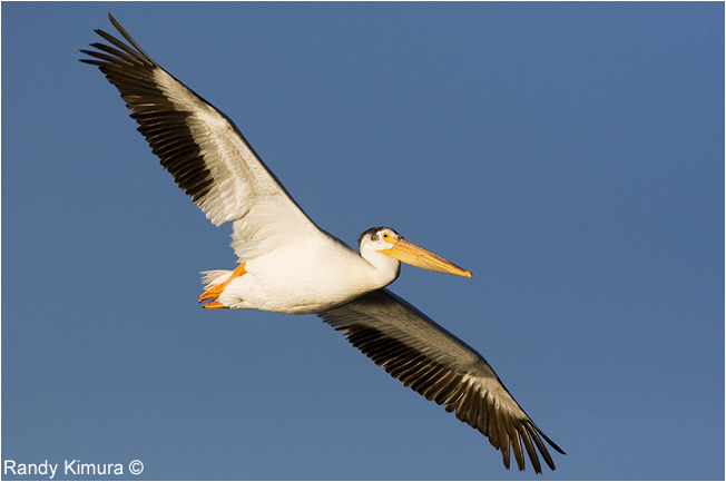 Pelican in flight by Randy Kimura ©