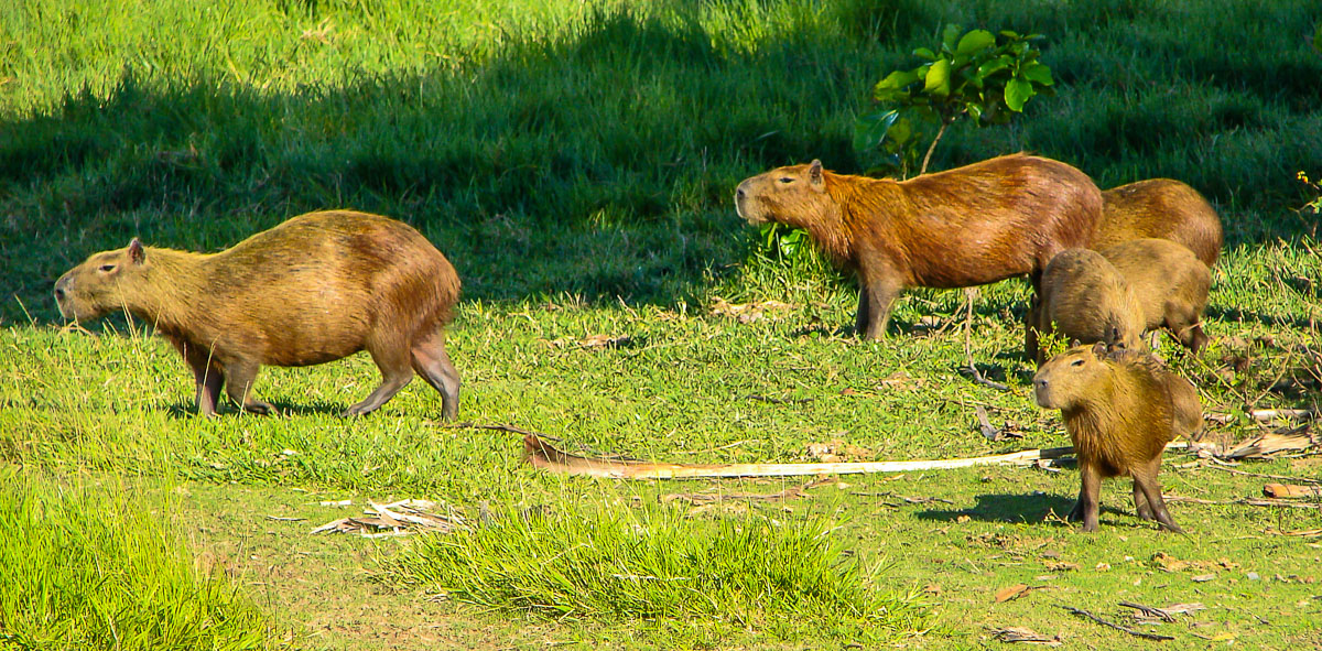 Capybara Family by Reinhard Thomas ©