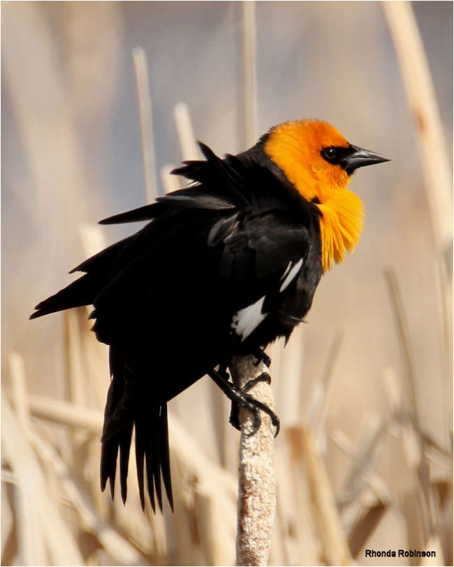 Yellow-headed blackbird by Rhonda Robinson ©