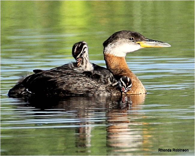 REd-necked Grebe by Rhonda Robinson ©
