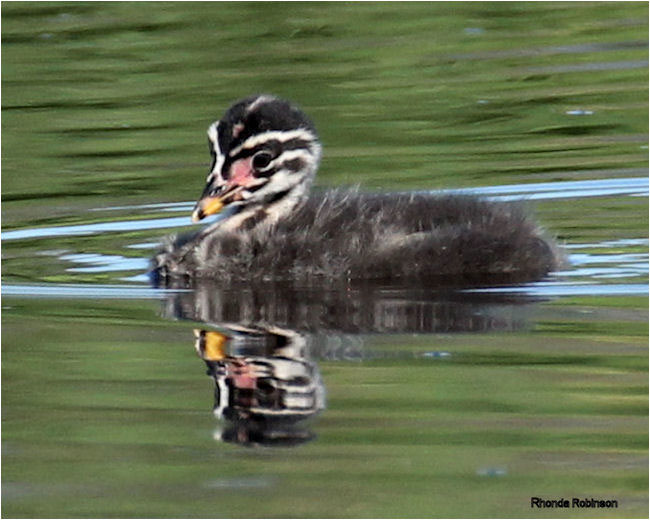 Baby Red-necked Grebe by Rhonda Robinson ©