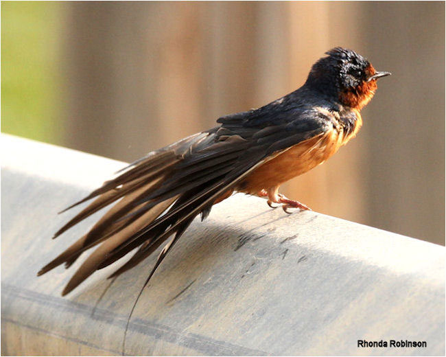 Swallow by Rhonda Robinson ©