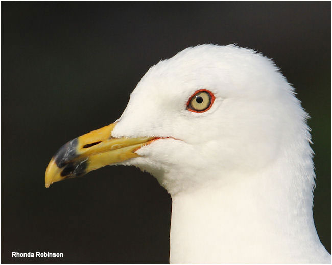 Gull by Rhonda Robinson ©