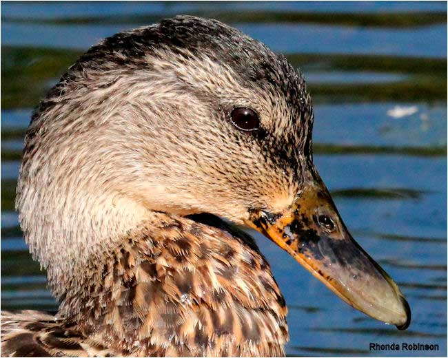 Male Mallard by Rhonda Robinsion