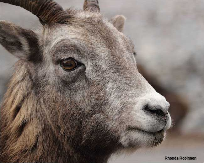 Mountain Sheep by Rhonda Robinson ©