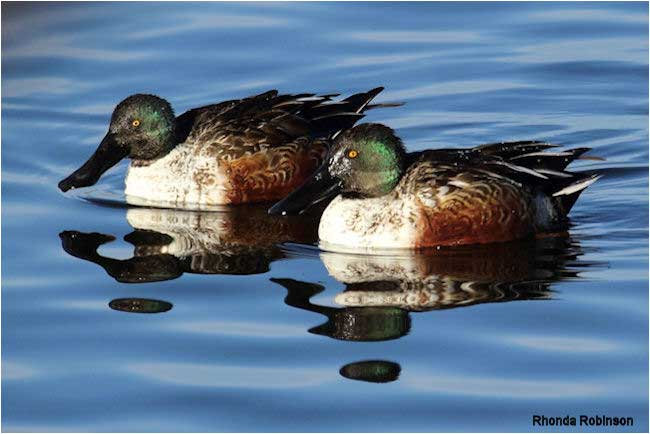 Northern Shovelers by Rhonda Robinsion ©