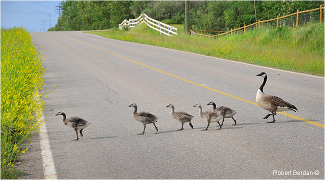 Canada goose and goslings crossing the road north west of Calgary by Robert Berdan ©