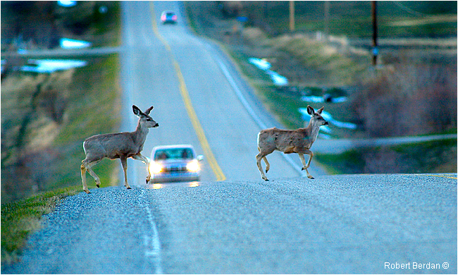 Mule deer crossing Bearspaw road early evening by Robert Berdan ©