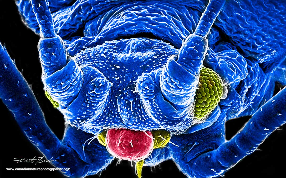 Aphid Scanning electron micrography by Robert Berdan ©