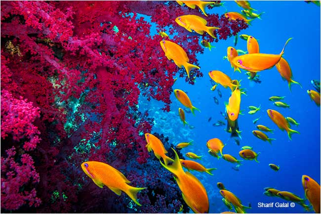 Schools of Jewel Fairy Basslet (Pseudanthias squamipinnis) by Dr. Sharif Galal ©