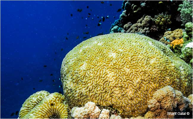Massive brain coral (Colpophyllia natans) by Dr. Sharif Galal ©
