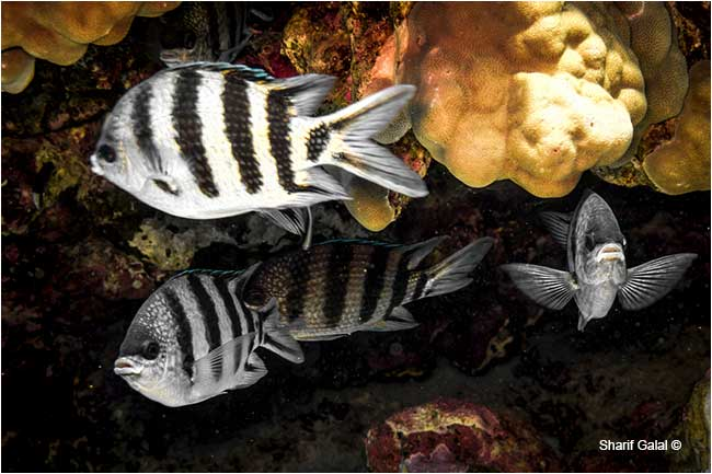 Sergeant fish (Abudefdur saxatilis) are associated with shallow reefs  by Dr. Sharif Galal ©