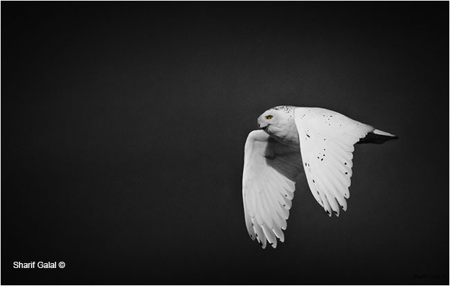 Snowy owl in flight Infrared by Dr. Sharif Galal ©