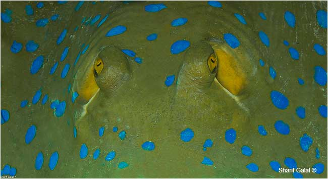 Blue-spotted stingray (Taeniura lymma) by Dr. Sharif Galal ©