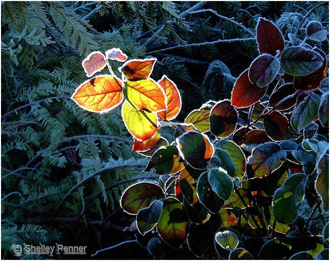 Frosty Salal by Shelly Penner ©