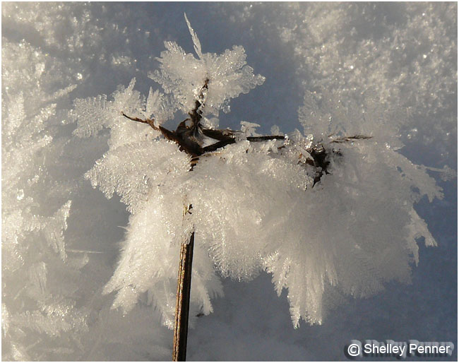 Frost Feathers by Shelly Penner ©