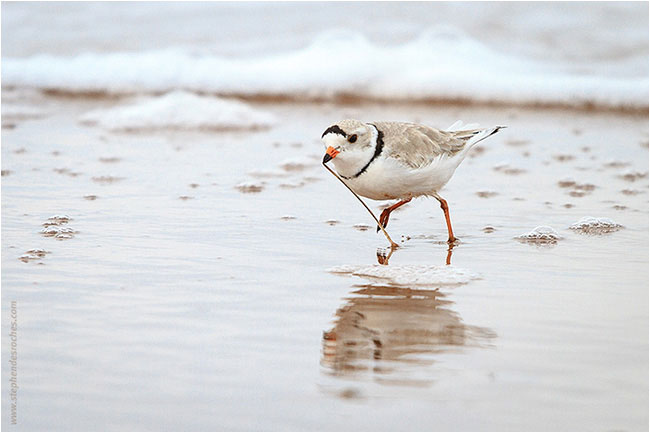 Piping Plover by Stephen DesRoches ©