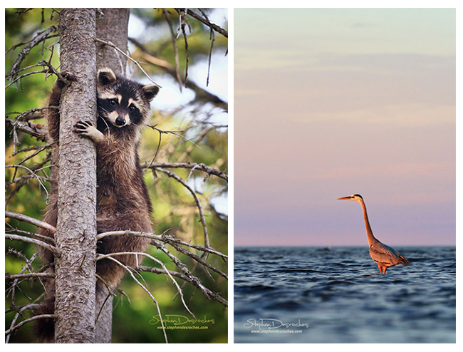 Racoon and Blue heron by Stephen DesRoches ©