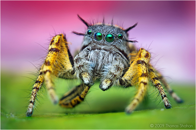 Adult Male Phidippus mystaceus Jumping Spider by Thomas Shahan ©