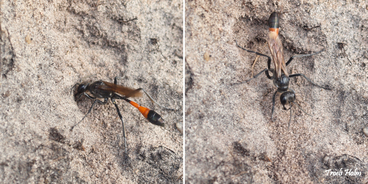 Ammophila sabulosa, the Red-banded Sand Wasp, of the hunting wasp family Sphecidae by Troels Holm ©