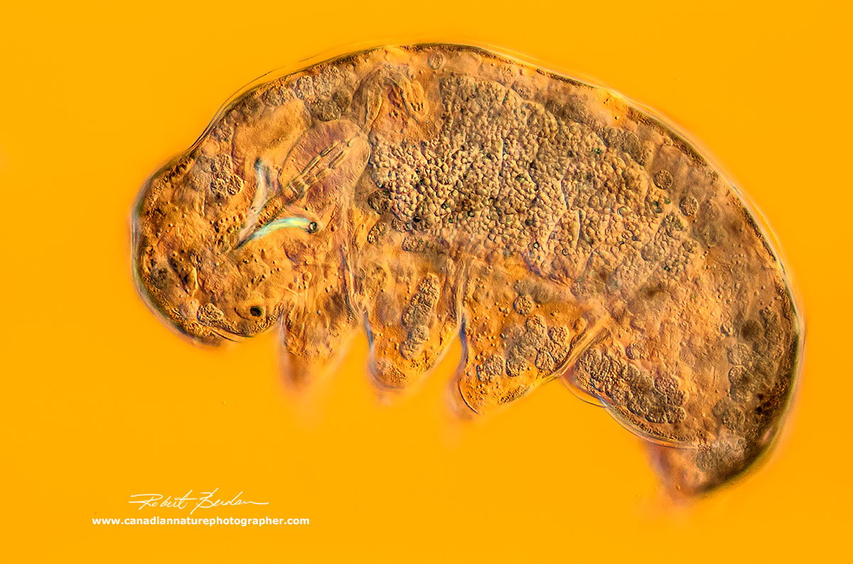 Water bear Tardigrade - DIC microscopy 200X  by Robert Berdan ©