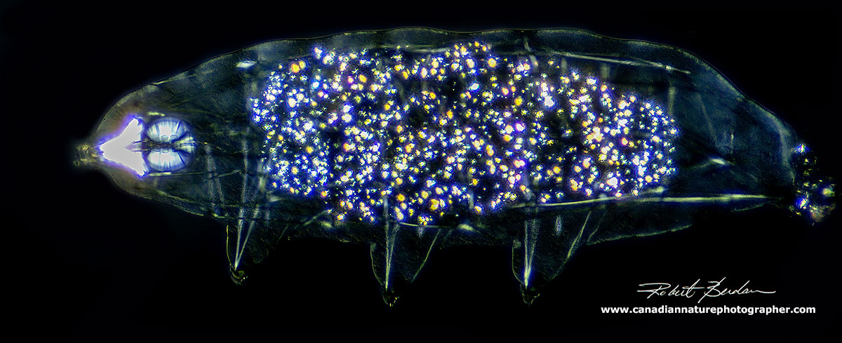 Water bears view via Polarized light microscopy 200X - plane polarized light microscopy by Robert Berdan ©
