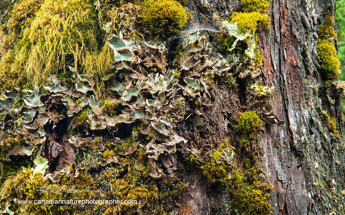 Tree from the West Coast of British Columbia showing a wide variety of lichen and moss  by Robert Berdan ©