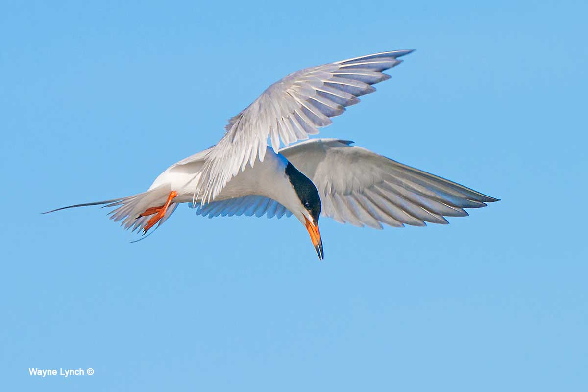 Forster's Tern  by Dr. Wayne Lynch ©