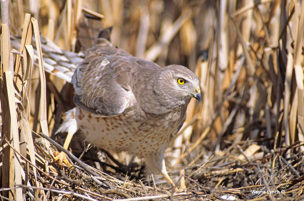 Male Northern Harrier by Dr. Wayne Lynch ©